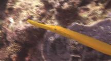 Close Up Of Trumpet Fish