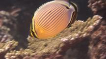 Redfin Butterfly Fish Swims Over Coral
