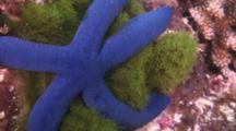 Large Blue Sea Star