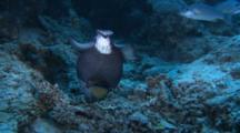 Titan Triggerfish Feeds On Reef