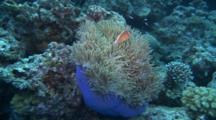 Pink Anemonefish In Host