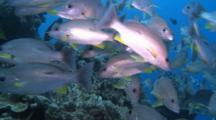 School Of Perch On Reef