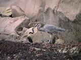 Blue Heron Captures Sea Snake