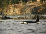 Orca Family:  Male , Female & Baby