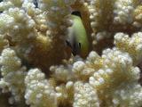 Arabian Damselfish Inside The Acropora Stony Coral