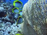 Blackbacked Butterflyfish Behind Hickson's Fan Gorgonia