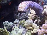 Blackmouth Sea Cucumber On Coral Reef_Upright_02