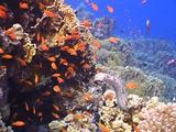 Blackmouth Sea Cucumber On Coral Reef_Upright_03