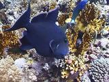 Blue Triggerfish Feeding On Coral Reef