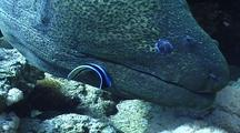 Giant Moray In The Hole With Bluestreak Cleaner Wrasse 01
