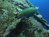 Ss Thistlegorm Wreck - Steepheaded Parrotfish