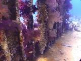 Yollanda Wreck - Cargo - Bluespotted Stingray, Klunzinger's  Soft Coral