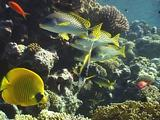 Masked Butterflyfish, Red Sea Bannerfish,Blackspotted Sweetlips Hovering