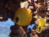 Giant Squirrelfish And Masked Butterflyfish Under Table Coral 02