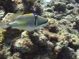 Arabian Picasso Triggerfish Swimming And Pumping Sand Trough Gills 01
