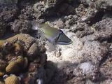 Arabian Picasso Triggerfish Swimming And Pumping Sand Trough Gills 03