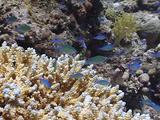 Bluegreen Chromis In Acropora Stony Coral 02