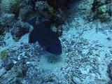Blue Triggerfish Guarding His Nest