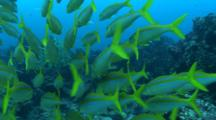 Goatfish Swimming On The Reef