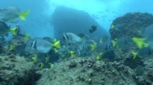 Razor Surgeonfish Grazing