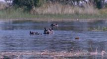 Hippos Submerged In Wetland