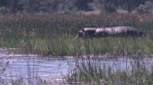 Hippo Walks Through Aquatic Plants, Reeds