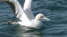 Gannet Takes Off From Surface In Slow Motion