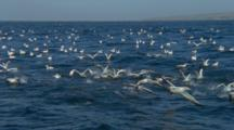 Slow Motion, Cape Gannets Take Off From Surface