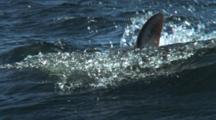 Slow Motion Sharks Feed On Surface During Sardine Run