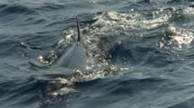 Slow Motion Shark Follows Bait On Surface