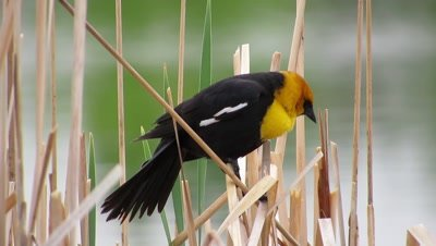 Yellow Headed Blackbird in Cattails
