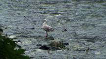 Glaucous-Winged Gull Surrounded By Spawning Chum Salmon.