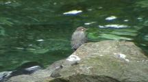 American Dipper With Spawning Salmon/Salmon Scares Off The Dipper.