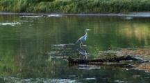 Great Blue Heron Walking Out Of The Water With Other Waterfowl In Background