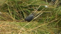 American Dipper Looking For Bugs In  Beach Grass