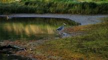 Great Blue Heron Walking Out Of A  Pond