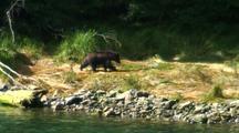 Alaska Brown Bear (Grizzly) Walking Up A Stream Bank.