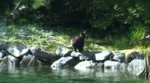 Alaska Brown Bear (Grizzly) Walking Up A Stream Bank.