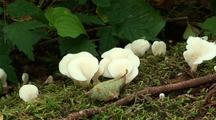 Edible Oyster Mushrooms
