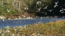 Bird (Gulls) Flying Out Of A Creek Basin Toward The Camera.
