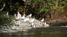 Gulls Waiting Along A Stream For Salmon.