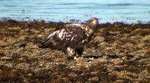 Immature Bald Eagle Stealing Food With Ocean Background..