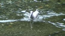 Gull Feeding On Salmon Eggs Being Dropped By Salmon.