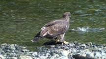 Immature Bald Eagle Interacts With Salmon
