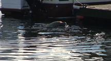 A Very Large  Steller Sea Lion Harrassing A Boater.
