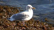 Sea Gull Sitting On Fucus Seaweed.