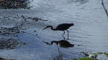 Great Blue Heron Catching A Fish.
