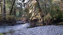 Rain Forest Stream/River.   Moss Covered Trees And Ground Cover.