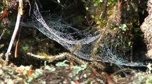 Spider Web Covered With Dew Drops Waving In The Wind.