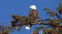 Bald Eagle In A Sitka Spruce Tree.